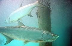 fishing-charter-florida-300px-Atlantic_tarpon