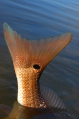 Redfish-Tail